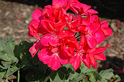 Savannah Punch Geranium (Pelargonium 'Savannah Punch') at Stauffers Of Kissel Hill
