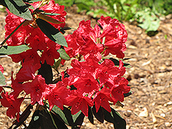 Vulcan Rhododendron (Rhododendron 'Vulcan') at Stauffers Of Kissel Hill