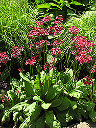 Miller's Crimson Primrose (Primula japonica 'Miller's Crimson') at Stauffers Of Kissel Hill