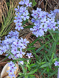 Chattahoochee Phlox (Phlox divaricata 'Chattahoochee') at Stauffers Of Kissel Hill