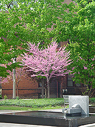 Eastern Redbud (tree form) (Cercis canadensis '(tree form)') at Stauffers Of Kissel Hill