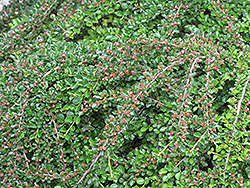 Ground Cotoneaster (Cotoneaster horizontalis) at Stauffers Of Kissel Hill