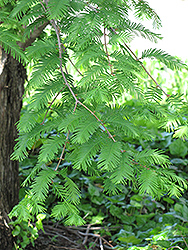 Dawn Redwood (Metasequoia glyptostroboides) at Stauffers Of Kissel Hill