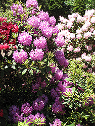 Boursault Rhododendron (Rhododendron catawbiense 'Boursault') at Stauffers Of Kissel Hill