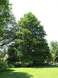 Katsura Tree (Cercidiphyllum japonicum) at Stauffers Of Kissel Hill