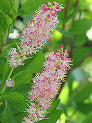 Ruby Spice Summersweet (Clethra alnifolia 'Ruby Spice') at Stauffers Of Kissel Hill