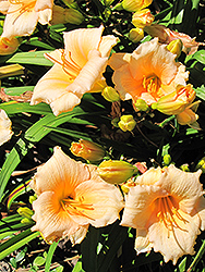 Mini Pearl Daylily (Hemerocallis 'Mini Pearl') at Stauffers Of Kissel Hill