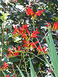 Lucifer Crocosmia (Crocosmia 'Lucifer') at Stauffers Of Kissel Hill