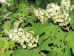 Snow Queen Hydrangea (Hydrangea quercifolia 'Snow Queen') at Stauffers Of Kissel Hill