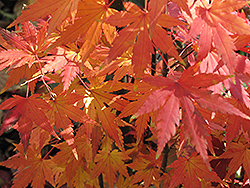 Orange Dream Japanese Maple (Acer palmatum 'Orange Dream') at Stauffers Of Kissel Hill
