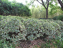 Silver King Euonymus (Euonymus japonicus 'Silver King') at Stauffers Of Kissel Hill