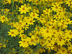 Zagreb Tickseed (Coreopsis verticillata 'Zagreb') at Stauffers Of Kissel Hill