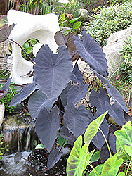 Black Magic Elephant Ear (Colocasia esculenta 'Black Magic') at Stauffers Of Kissel Hill