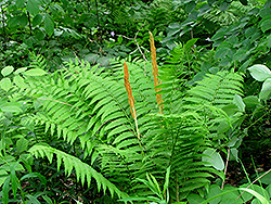 Cinnamon Fern (Osmunda cinnamomea) at Stauffers Of Kissel Hill