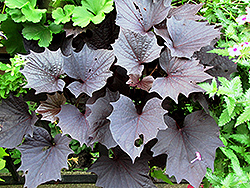 Sweet Caroline Bewitched Purple Sweet Potato Vine (Ipomoea batatas 'Sweet Caroline Bewitched Purple') at Stauffers Of Kissel Hill