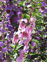 Serena® Lavender Pink Angelonia (Angelonia angustifolia 'Serena Lavender Pink') at Stauffers Of Kissel Hill