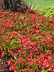 Dragon Wing Red Begonia (Begonia 'Dragon Wing Red') at Stauffers Of Kissel Hill