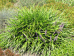 Lily Turf (Liriope spicata) at Stauffers Of Kissel Hill