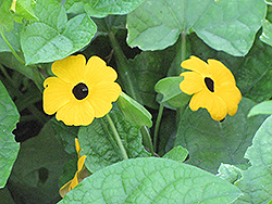 Black-Eyed Susan Vine (Thunbergia alata) at Stauffers Of Kissel Hill