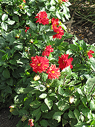Figaro™ Red Shades Dahlia (Dahlia 'Figaro Red Shades') at Stauffers Of Kissel Hill