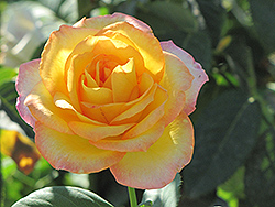 Gold Medal Rose (Rosa 'Gold Medal') at Stauffers Of Kissel Hill