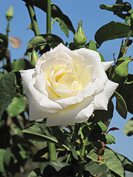 Honor Rose (Rosa 'Honor') at Stauffers Of Kissel Hill