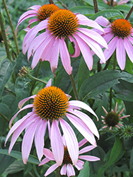 Purple Coneflower (Echinacea purpurea) at Stauffers Of Kissel Hill