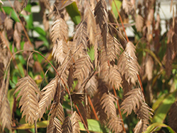 Northern Sea Oats (Chasmanthium latifolium) at Stauffers Of Kissel Hill