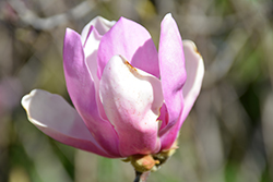 Jane Magnolia (Magnolia 'Jane') at Stauffers Of Kissel Hill