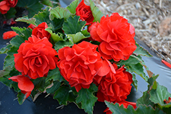 Nonstop® Red Begonia (Begonia 'Nonstop Red') at Stauffers Of Kissel Hill