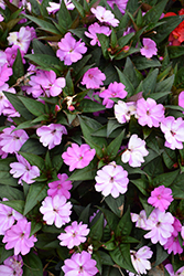 SunPatiens® Vigorous Lavender New Guinea Impatiens (Impatiens 'SunPatiens Vigorous Lavender') at Stauffers Of Kissel Hill