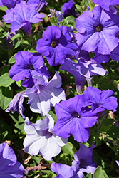 Surfinia® Heavenly Blue Petunia (Petunia 'Surfinia Heavenly Blue') at Stauffers Of Kissel Hill