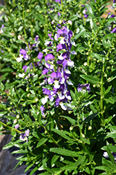 Angelface® Wedgewood Blue Angelonia (Angelonia angustifolia 'Angelface Wedgewood Blue') at Stauffers Of Kissel Hill