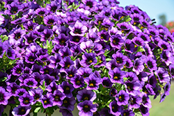 Superbells® Grape Punch Calibrachoa (Calibrachoa 'Superbells Grape Punch') at Stauffers Of Kissel Hill