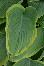 Victory Hosta (Hosta 'Victory') at Stauffers Of Kissel Hill