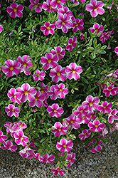 Callie® Star Pink Calibrachoa (Calibrachoa 'Callie Star Pink') at Stauffers Of Kissel Hill