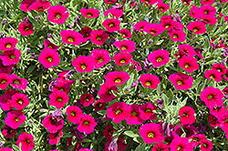 MiniFamous® iGeneration Electric Purple Calibrachoa (Calibrachoa 'MiniFamous iGeneration Electric Purple') at Stauffers Of Kissel Hill