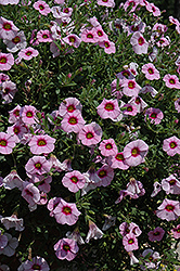 MiniFamous® iGeneration Light Pink Eye Calibrachoa (Calibrachoa 'MiniFamous iGeneration Light Pink Eye') at Stauffers Of Kissel Hill