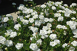 MiniFamous® Double White Calibrachoa (Calibrachoa 'MiniFamous Double White') at Stauffers Of Kissel Hill
