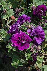 Double Wave Blue Velvet Petunia (Petunia 'Double Wave Blue Velvet') at Stauffers Of Kissel Hill