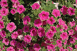 Supertunia® Picasso In Pink Petunia (Petunia 'Supertunia Picasso In Pink') at Stauffers Of Kissel Hill