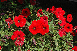 Surfinia® Deep Red Petunia (Petunia 'Surfinia Deep Red') at Stauffers Of Kissel Hill