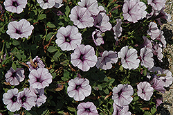 Surfinia® Blue Vein Petunia (Petunia 'Surfinia Blue Vein') at Stauffers Of Kissel Hill