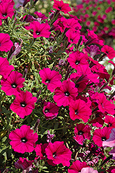 Supertunia® Mini Purple Petunia (Petunia 'Supertunia Mini Purple') at Stauffers Of Kissel Hill
