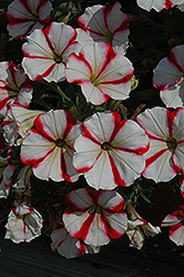 Crazytunia® Cherry Cheesecake Petunia (Petunia 'Crazytunia Cherry Cheesecake') at Stauffers Of Kissel Hill