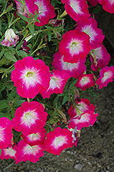 Cascadias Fantasy Hot Pink Petunia (Petunia 'Cascadias Fantasy Hot Pink') at Stauffers Of Kissel Hill
