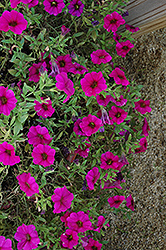 SuperCal® Purple Petchoa (Petchoa 'SuperCal Purple') at Stauffers Of Kissel Hill