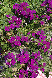 Fuego Magic Dark Blue Verbena (Verbena 'Fuego Magic Dark Blue') at Stauffers Of Kissel Hill