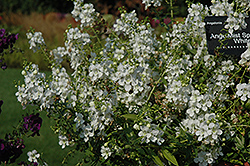 AngelMist® Spreading White Angelonia (Angelonia angustifolia 'AngelMist Spreading White') at Stauffers Of Kissel Hill