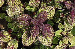 Fishnet Stockings Coleus (Solenostemon scutellarioides 'Fishnet Stockings') at Stauffers Of Kissel Hill